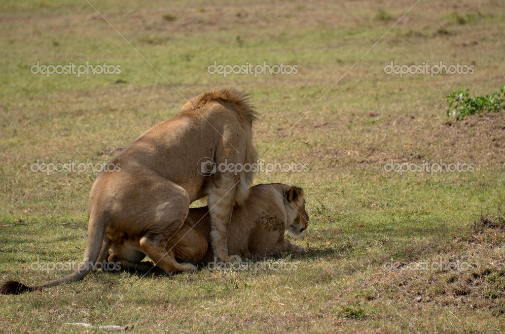 Apareamiento de leones foto de stock africa 7542098 - Leones apareamiento ...
