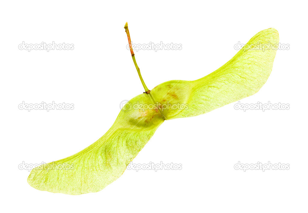 Maple seeds (isolated)