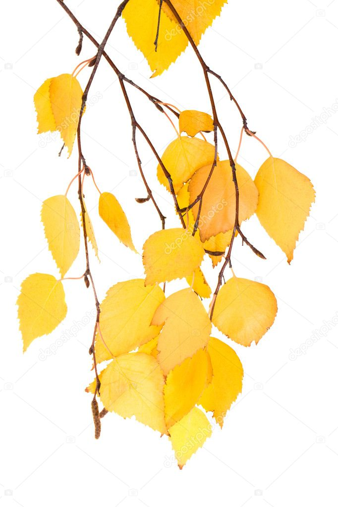 Leaf birches (isolated)