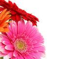 jarní květy gerber