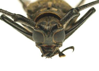 Macro photo of long-horned beetle