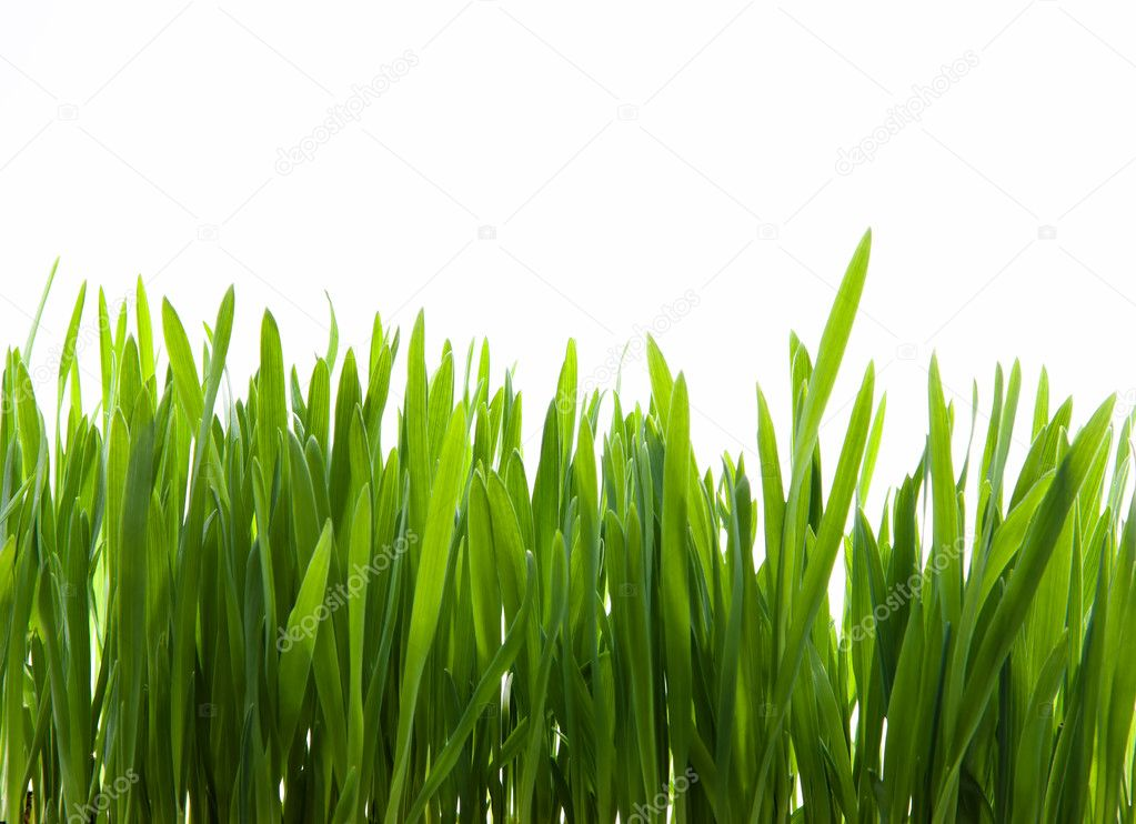 Growth of young green grass on white background