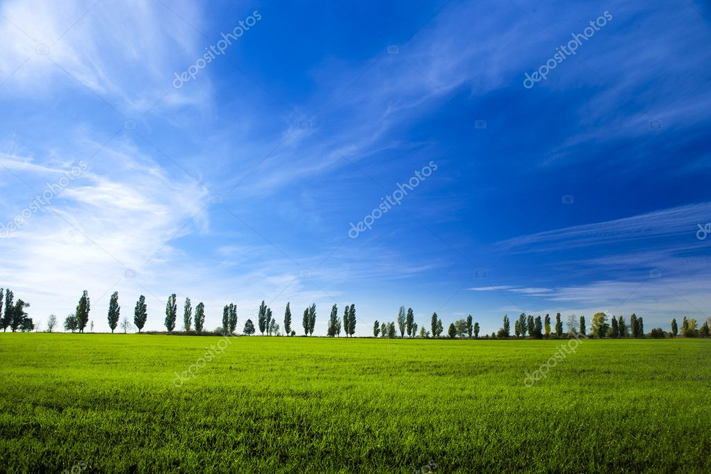 Young winter wheat on blue sky background