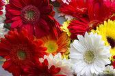 květiny Gerbera