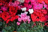 Brambořík červené a růžové květy na pozadí