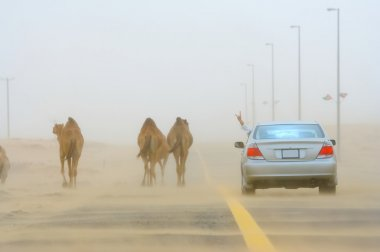 Car and camels