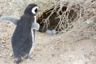 Penguin and nest