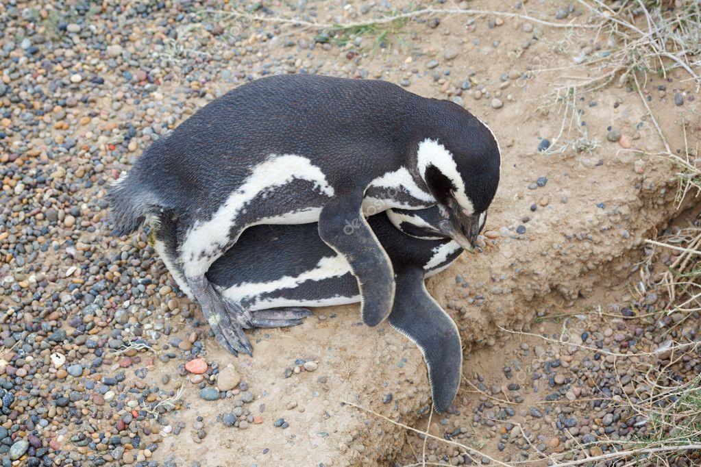 Секс у пингвинов
