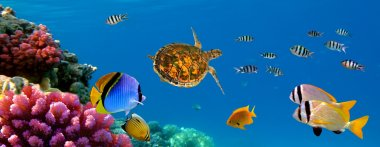 Underwater panorama with turtle, coral reef and fishes. Sharm el