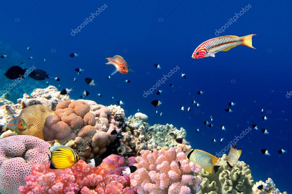 Фотообои Coral fish Thalassoma Klunzingeri (Klunzinger's Wrasse) nearby a