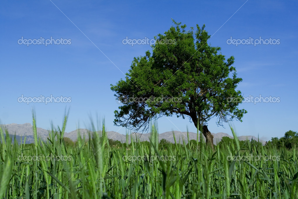 Rural scene in mallorca spain with crops and tree