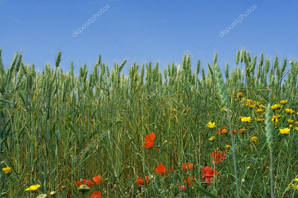 Nature, spring flowers growing in wheat field