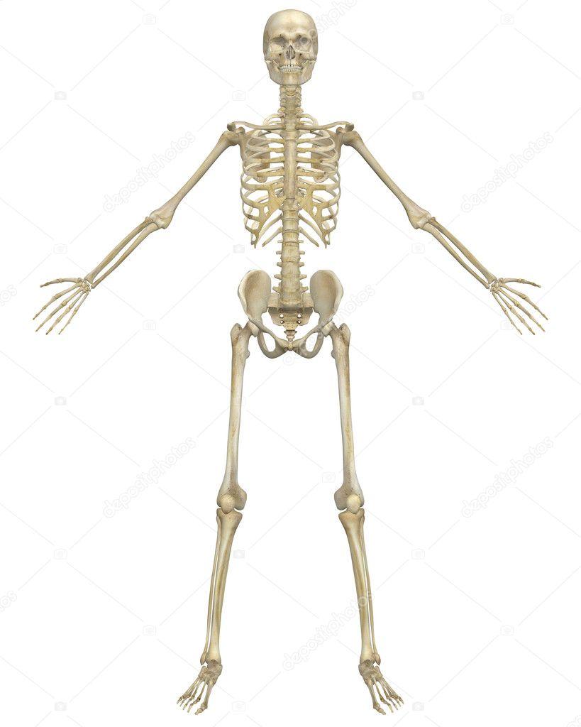 Human Skeleton Anatomy Front View