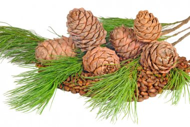 The composition of seeds and twigs of the Siberian cedar