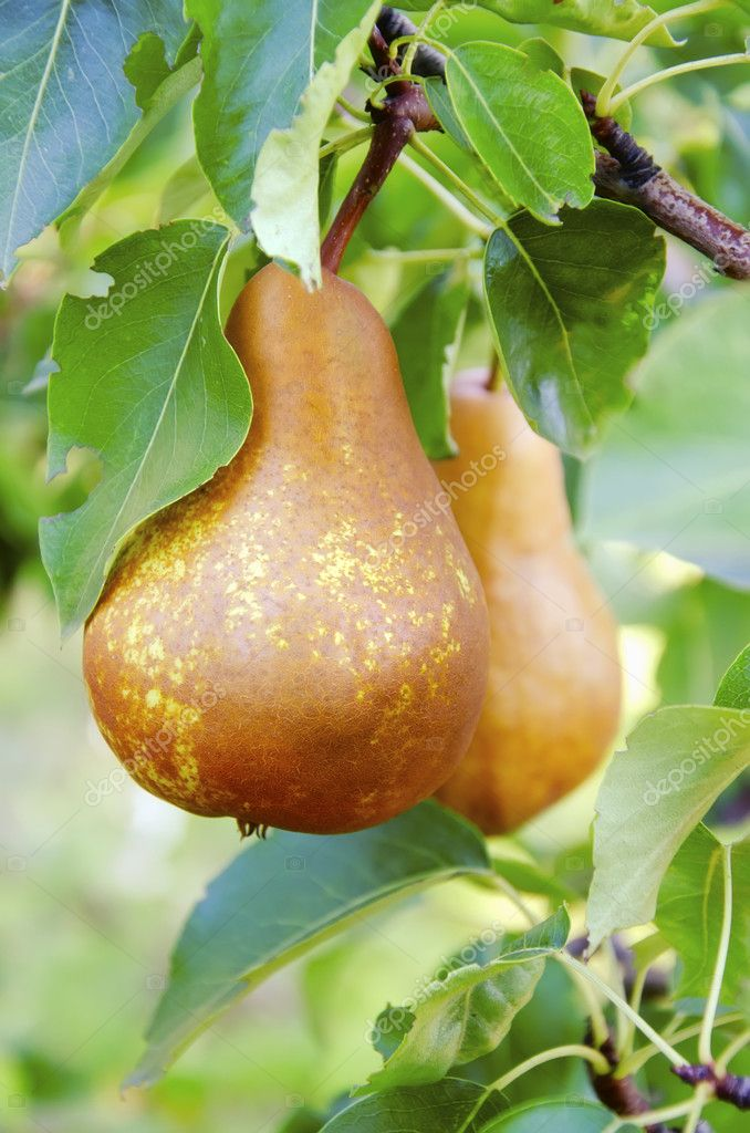 A bunch of Pears on the branch, close up image