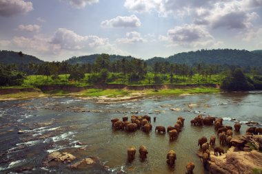 Herd of elephants bathing in the river amid the scenic landscape