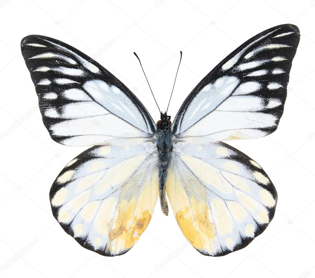 Black and white butterflies isolated on a white background