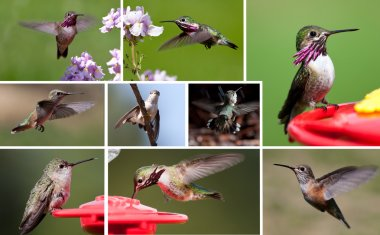 A few different shots of humming birds up close in a collage stock vector