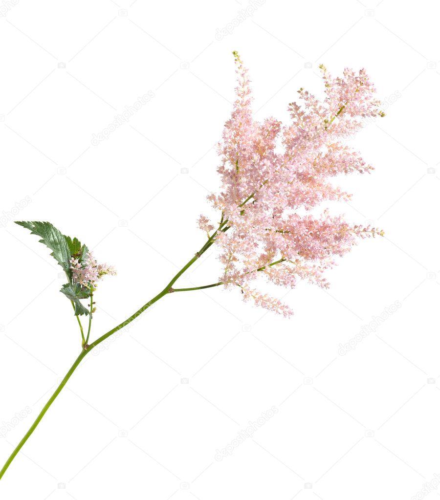 lumière astilbe rose isolé — photographie tamara_k © #6949076