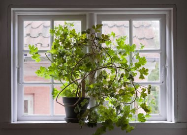 Overgrown geranium plant in a black pot on old fashioned multipa