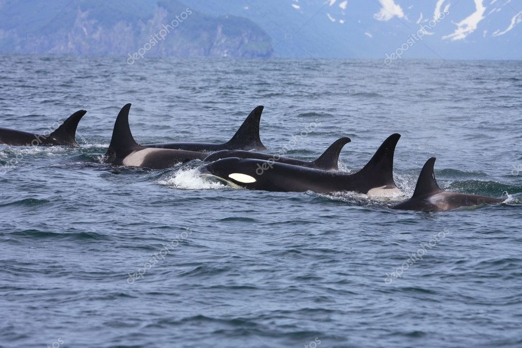 Killer whale group in the wild