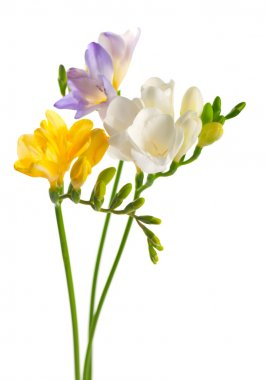 White and yellow and purple freesia