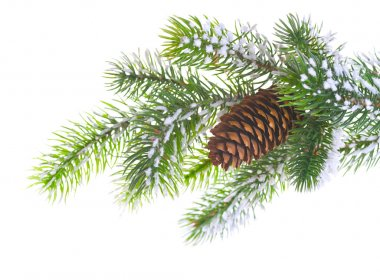 Spruce branch with cone
