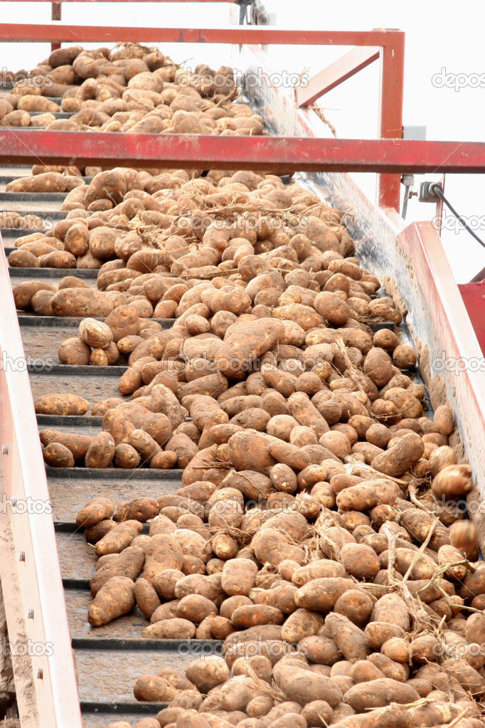 Conveyor of Harvested Potatoes