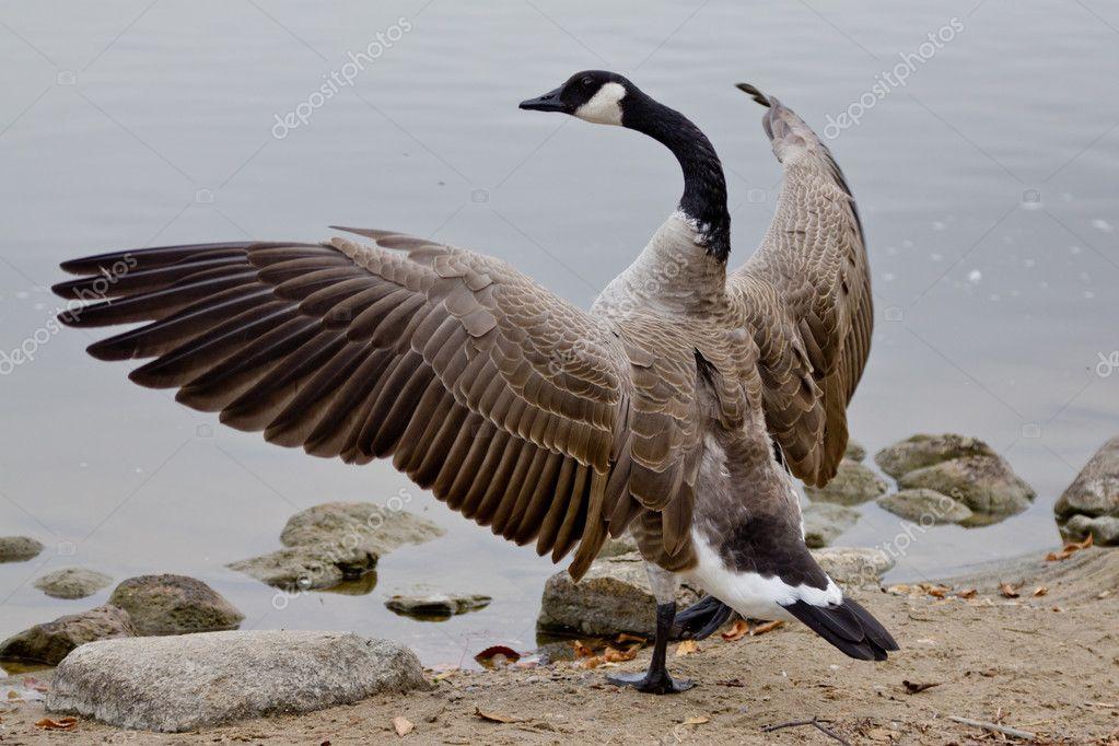 Растопырив крылья и шипя