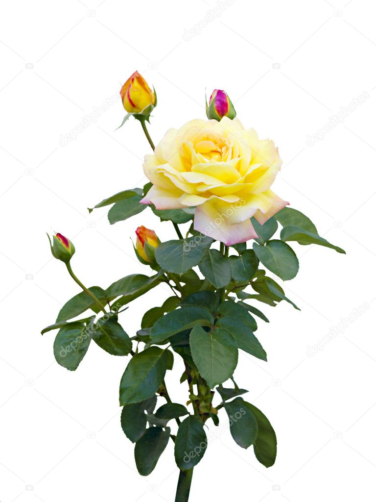 yellow rose with unopened buds on a white background — stock photo