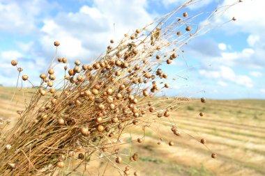 Flax bunch.