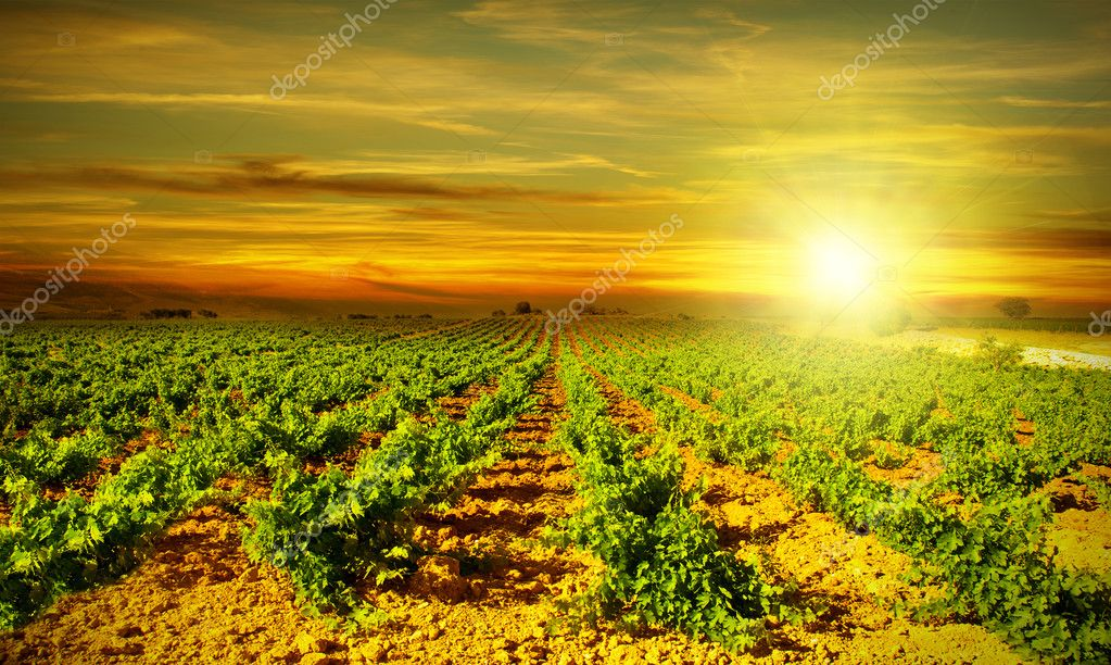 Bright sunset at vineyard