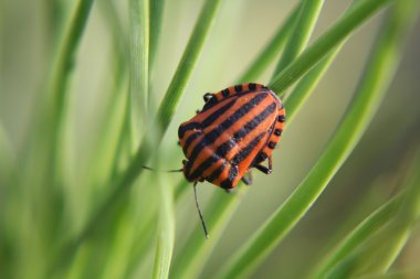 Black red striped bug