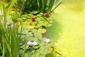 Fotografia Nenufar ninfee laghetto verde acqua