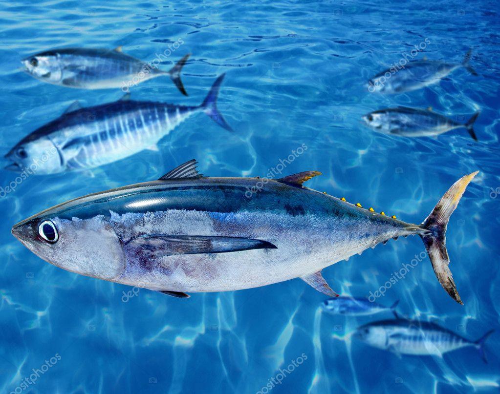 Albacore Thunnus alalunga fish and bluefin tuna
