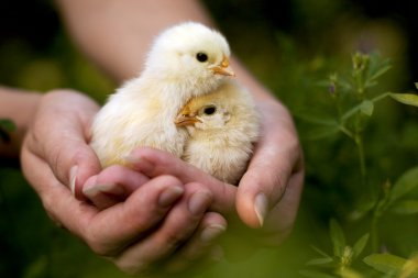 Chickens in the hands of