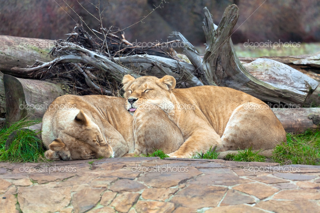Lions on the nature