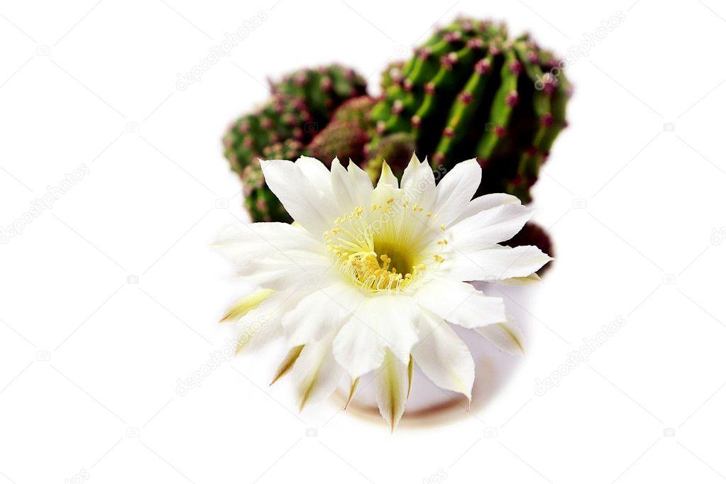 Kaktus Blüte — Stockfoto © O.Rohulya #7659307