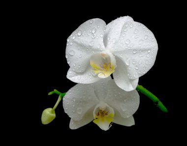 Two flowers of white orchids in the dew drops close up