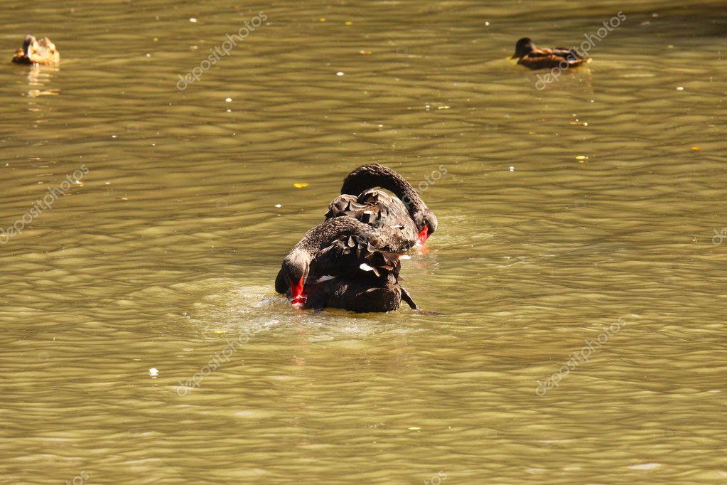 Black swan, anatidae