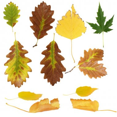 Photo of various autumn leaves isolated on white background
