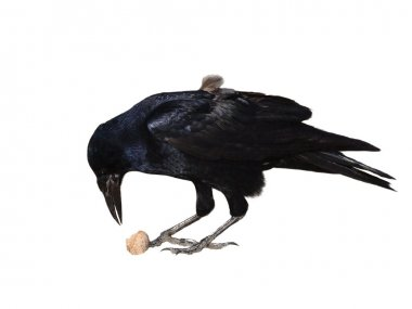 Rook with walnut isolated on white background, Corvus frugilegus