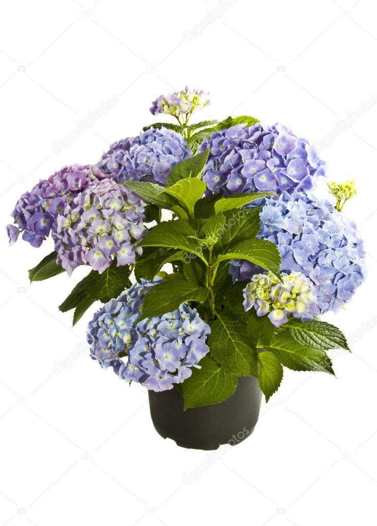 Beautiful blue purple Hortensia