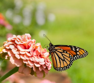 Monarch butterfly feeding on pink Zinnia with grass background