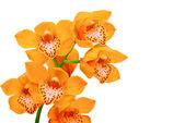 Fotografia  orchidea