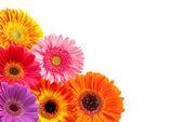 Gerber květ