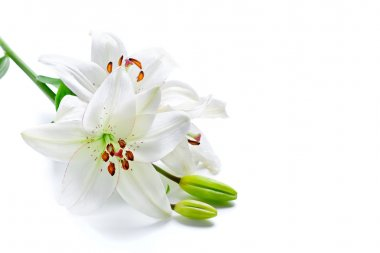 White lily branch, isolated on white