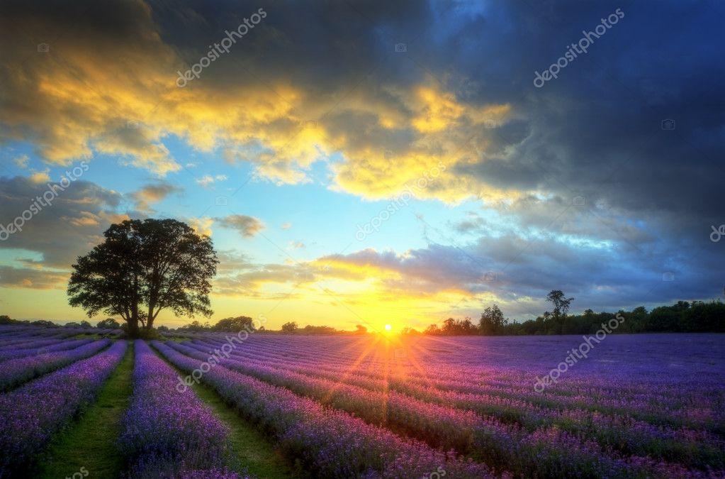 Stunning atmospheric sunset over vibrant lavender fields