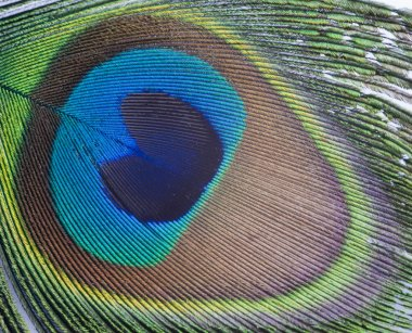 Vibrant colorful macro close up of peacock feather stock vector