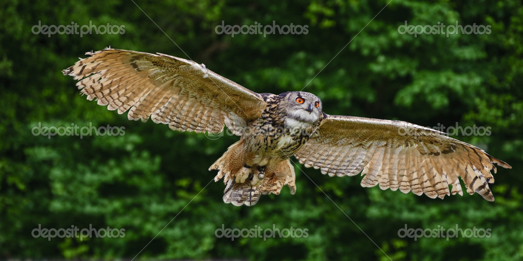 Stunning European eagle owl in flight
